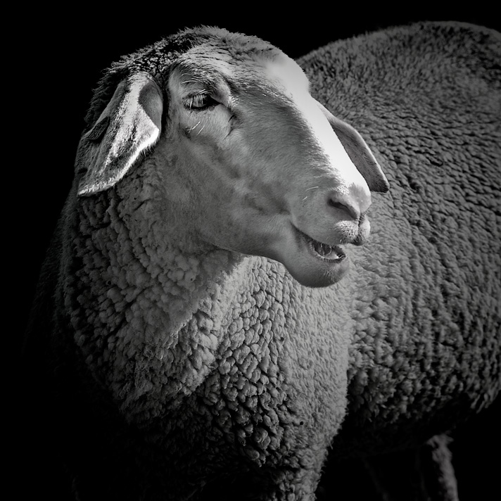 Its-about-Sheep-1