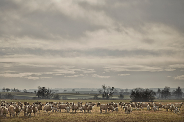 Sheepscapes-1