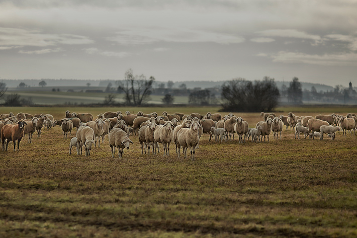 Sheepscapes-2
