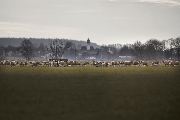 Sheepscapes-5