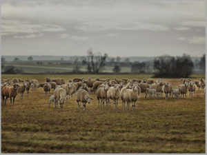 Sheepscapes