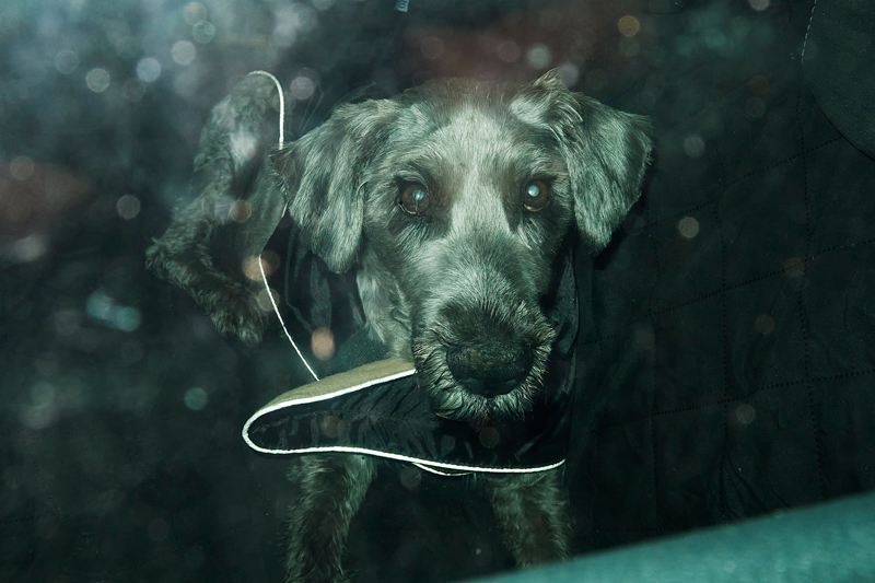 2021-Marx-Photography-September-Dog-in-Car